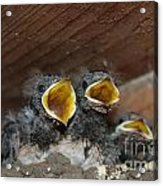 Hungry Cute Little Baby Birds  Www.pictat.ro Acrylic Print by Preda Bianca Angelica