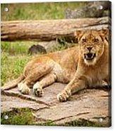 Hungry Lion Acrylic Print