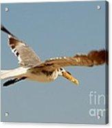 Hungry Seagull Acrylic Print