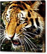 Hungry Tiger Acrylic Print