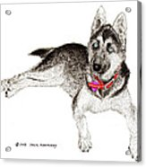 Husky With Blue Eyes And Red Collar Acrylic Print