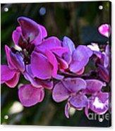 Hyacinth Bean Acrylic Print