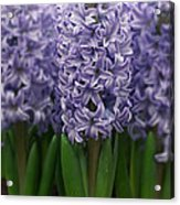 Hyacinth Hyacinthus Sp Skyline Variety Acrylic Print