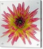 Hybrid Dahlia Acrylic Print