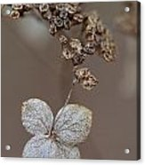 Hydrangea Arborescens Dry Flower Head In Winter Acrylic Print