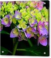 Hydrangea Beauty Acrylic Print