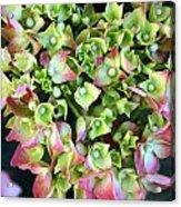 Hydrangea Acrylic Print