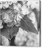 Hydrangeas In Black And White Acrylic Print