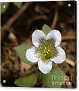 Hyoscyamus Flower Acrylic Print