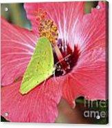 I Love My Hibiscus Acrylic Print