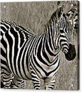 I See Stripes Acrylic Print
