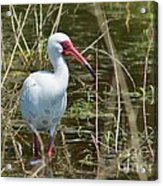 Ibis At Local Pond Acrylic Print by Lynda Dawson-Youngclaus