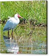 Ibis Looks Up Acrylic Print by Lynda Dawson-Youngclaus