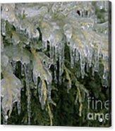 Ice-coated Arborvitae Acrylic Print