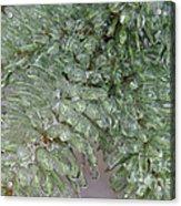 Ice-coated Norway Spruce Acrylic Print