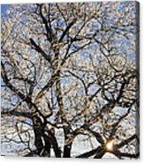 Ice Covered Tree At Sunrise Acrylic Print