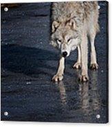 Ice Wolf Acrylic Print