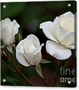Iceberg Roses Acrylic Print