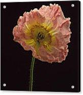 Iceland Poppy 3 Acrylic Print