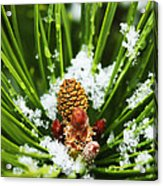 Icy Pine 1 Acrylic Print