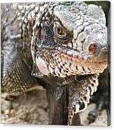 Iguana At Magens Bay Acrylic Print