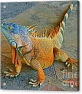 Iguana At The Restaurant  Acrylic Print