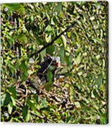 Iguana Hiding In The Bushes Acrylic Print