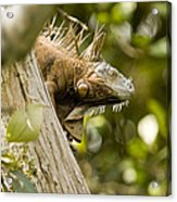 Iguana In Tree Acrylic Print