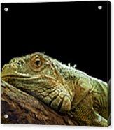 Iguana Acrylic Print by Jane Rix