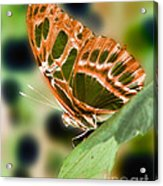 Illuminated Butterfly Acrylic Print