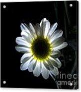 Illuminated Daisy Photograph Acrylic Print