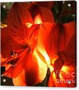 Illuminated Red Orange Alstromeria Photograph Acrylic Print