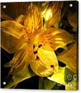 Illuminated Yellow Alstromeria Photograph Acrylic Print