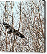 Immature Bald Eagle Flying Acrylic Print