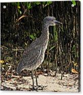 Immature Blacked Crowned Night Heron Acrylic Print