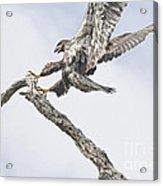 Immature Eagle At Play Acrylic Print