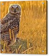 Immature Great Horned Owl Backlit Acrylic Print