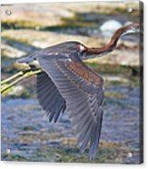 Immature Tricolored Heron Flying Acrylic Print