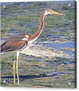 Immature Tricolored Heron Standing At High Tide Acrylic Print