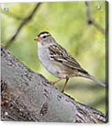 Immature White-crowned Sparrow  Acrylic Print