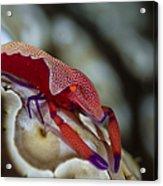 Imperator Commensal Shrimp On Eyed Sea Acrylic Print