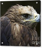 Imperial Eagle 4 Acrylic Print