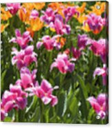 Impressionist Tulips In A Field Acrylic Print