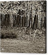 In A Yellow Wood Sepia Acrylic Print