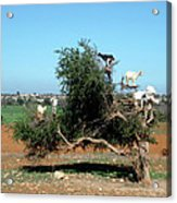 In Morocco Goats Grow On Trees Acrylic Print