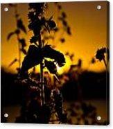 In Sunset's Glow Acrylic Print