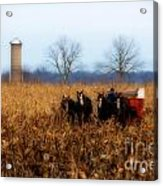 In The Corn 1 Acrylic Print