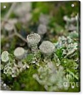 In The Land Of Little Mushrooms  Acrylic Print
