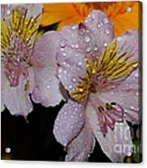 Inca Lily Acrylic Print