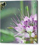 Incoming Bee Acrylic Print